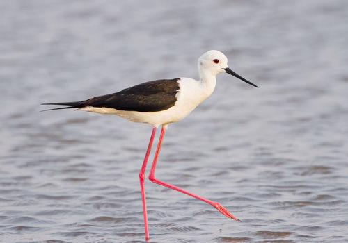 birdwatching_casa barco_ria formosa